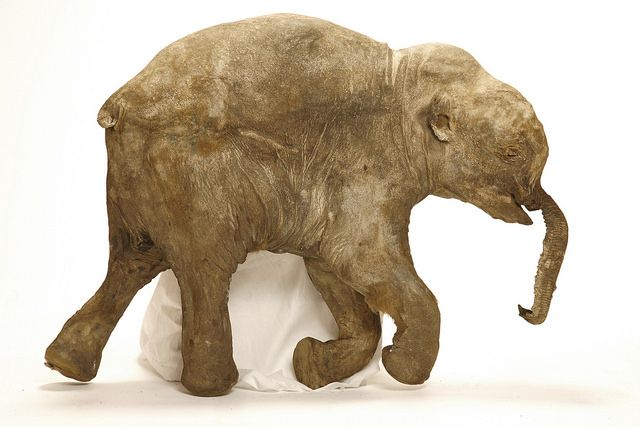Lyuba Mammoths Giants of the Ice Age
